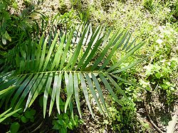 250px-Zamia_integrifolia02