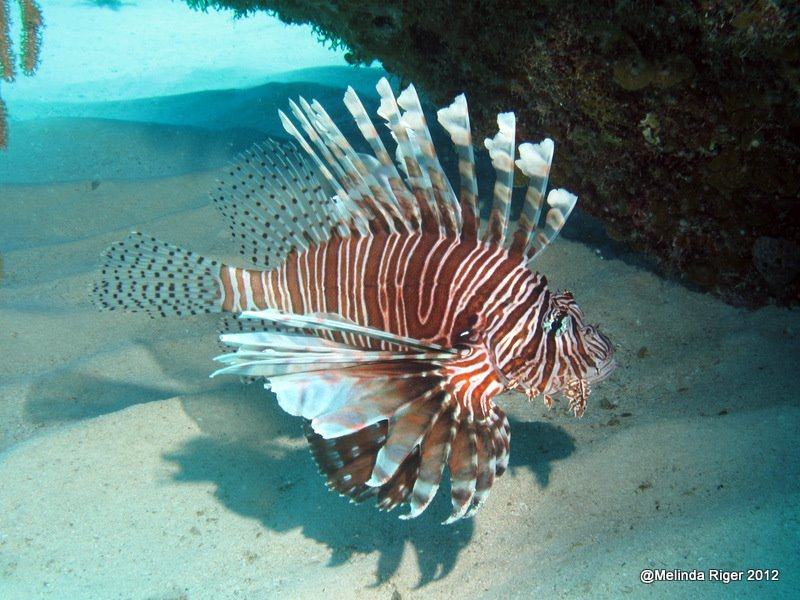 lionfish in the bahamas It is estimated that areas affected by lionfish in the bahamas have lost an average of 65 percent of their small fish, and more than 40 percent of their larger fish like grouper and snapper the dorsal, pectoral and anal fins of the red lionfish contain venomous spines.