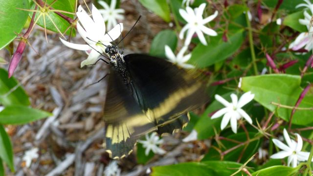 Polydamus (Gold Rim) Swallowtail Butterfly, Abaco (but6)
