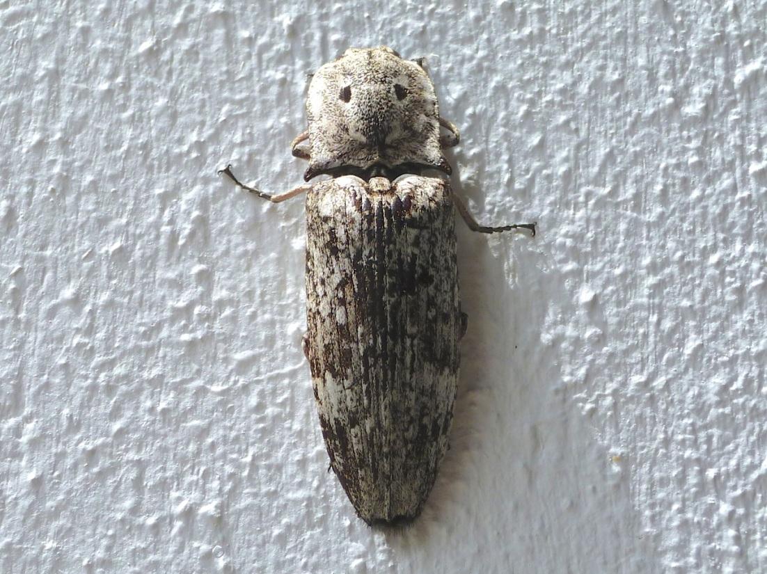 Eyed Click Beetle, Abaco