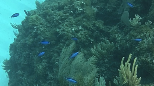 Blue Chromis, Fowl Cay, Abaco fish12