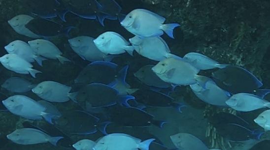 Blue Tang, Abaco fish28