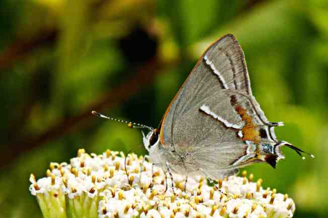 Martial Scrub-Hairstreak Strymon martialis (Nina Henry) 1a