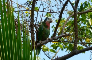 Abaco Parrot