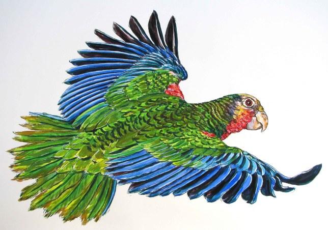 Abaco (Cuban) Parrot, Bahamas (from a photo by Craig Nash))