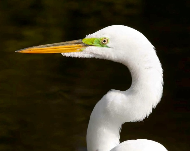 Great Egret grab Tom Sheley