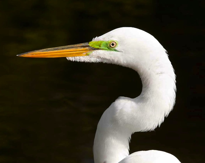 Great Egret, Abaco - Tom Sheley