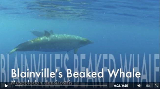 Blainville's Beaked Whales - BMMRO video