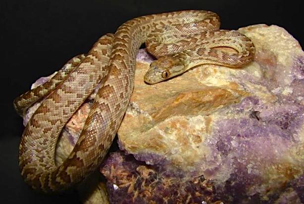 Abaco Boa (BNT) Chilabothrus exsul