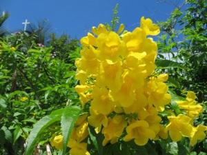 Yellow Elder Hope Town, Abaco 2