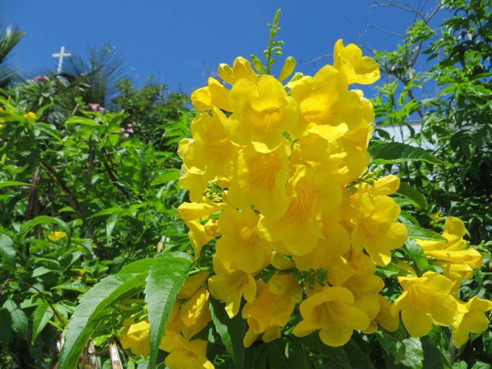 Yellow Elder Hope Town, Abaco, Bahamas (Keith Salvesen)