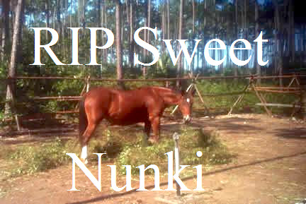 nunki-the-last-abaco-spanish-colonial-horse-copy