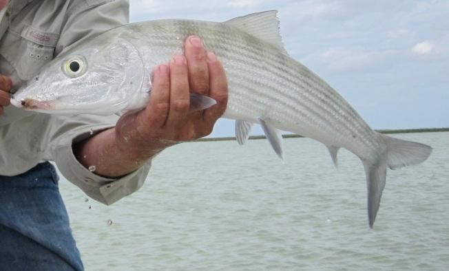 Abaco Bonefish a