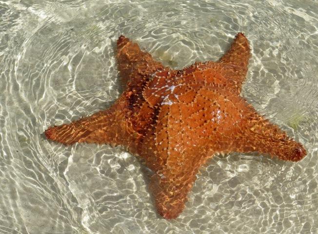 Starfish Abaco (Char Albury).JPG