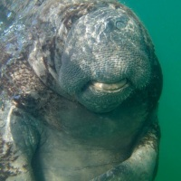 WEST INDIAN MANATEES AND THE BAHAMAS: THE FACTS