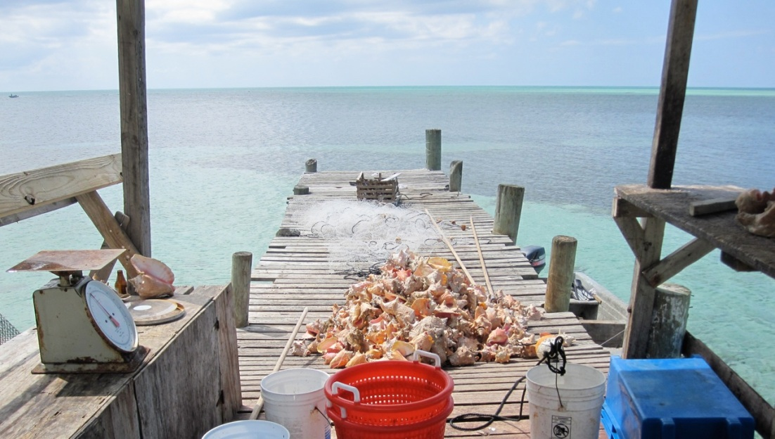 Conchs at Sandy Point Abaco 2