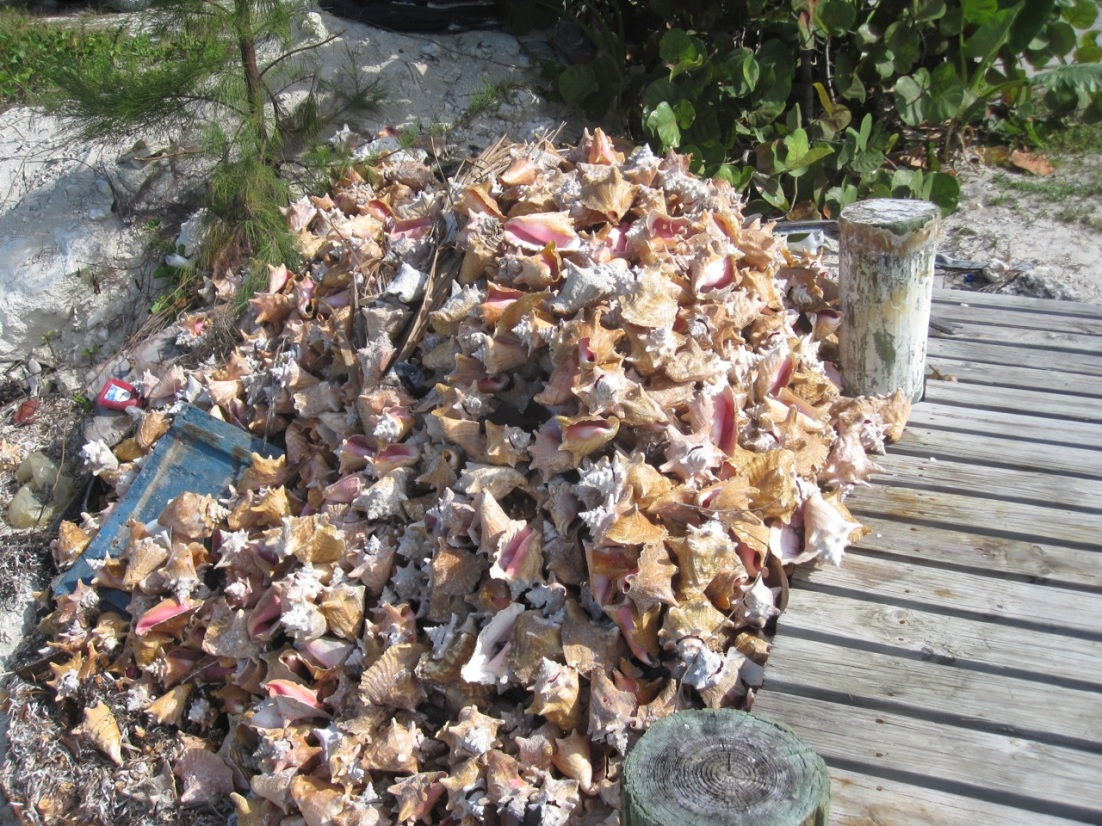 Conchs at Sandy Point Abaco 4