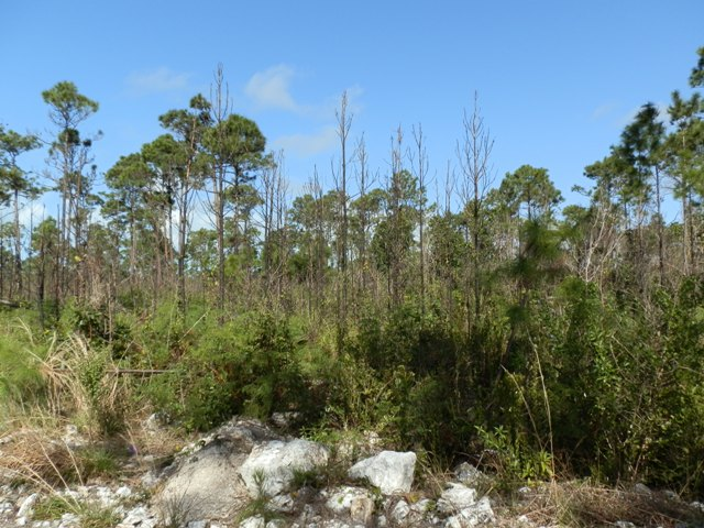 Abaco Pine Forest Fire Regeneration  5