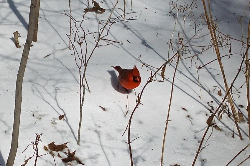 Cardinal NYC CP