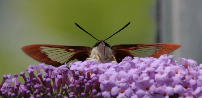 Hummingbird Moth (Clearwing) Hemaris Thysbe 13