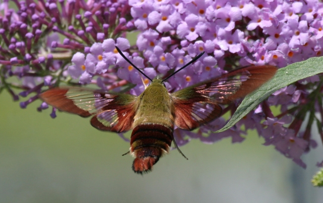 Hummingbird Moth (Clearwing) Hemaris Thysbe 12