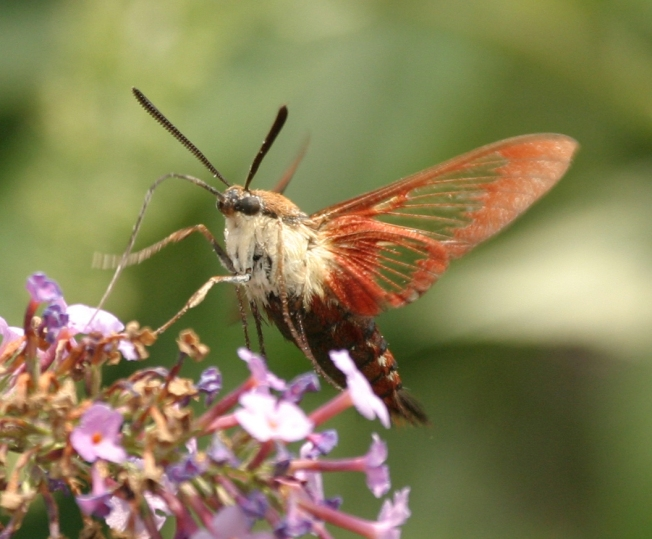 Hummingbird Moth (Clearwing) Hemaris Thysbe 9