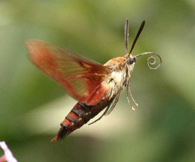 Hummingbird Moth (Clearwing) Hemaris Thysbe 8