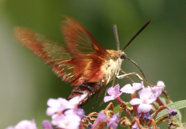Hummingbird Moth (Clearwing) Hemaris Thysbe 7