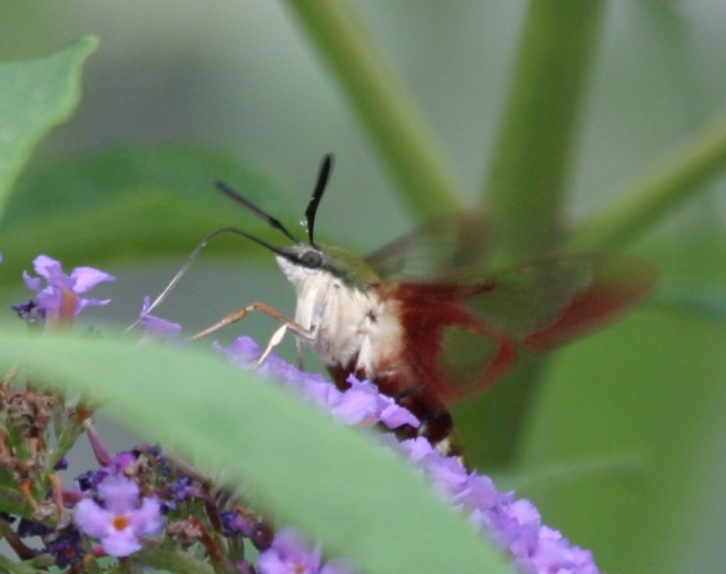 Hummingbird Moth (Clearwing) Hemaris Thysbe 5
