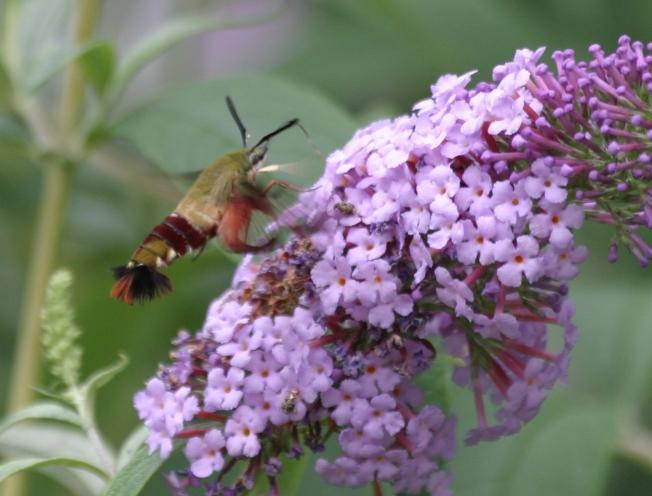 Hummingbird Moth (Clearwing) Hemaris Thysbe 2
