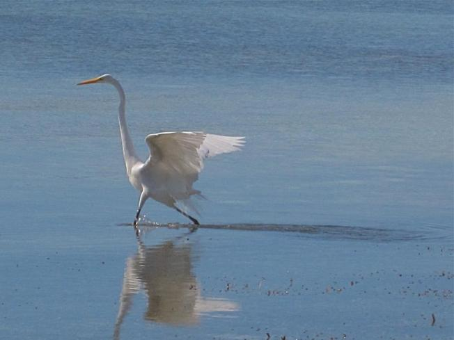Great Egret Abaco BC 1