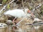 White Ibis, Treasure Cay Abaco - Kasia Reid
