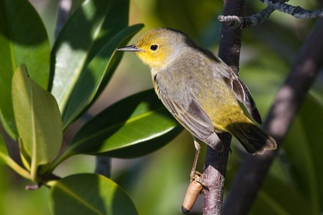 Prothonotary Warbler, Abaco - Craig Nash