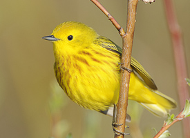 YELLOW WARBLER ©Cornell Lab