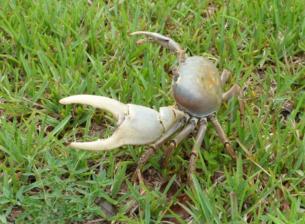 Land Crab, Bahamas Palm Shores Abaco (Keith Salvesen)