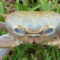 LAND CRABS ON ABACO - HOW TO STALK AND WRESTLE THEM...