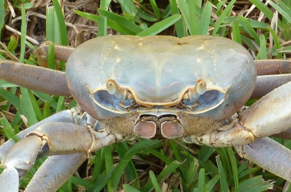 Land Crab, Bahamas Palm Shores Abaco 2 (Keith Salvesen)