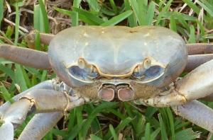 Land Crab BPS 5