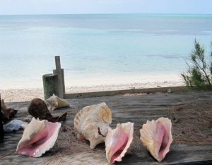 Conchs at Sandy Point a1