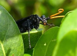 Spider or Pepsis Wasp; Tarantula Hawk