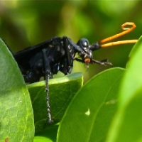 SPIDER WASPS & TARANTULA HAWKS: DON'T MESS WITH THESE GUYS