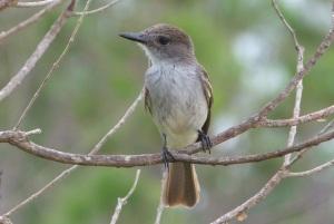 La Sagra's Flycatcher, Abaco - Keith Salvesen
