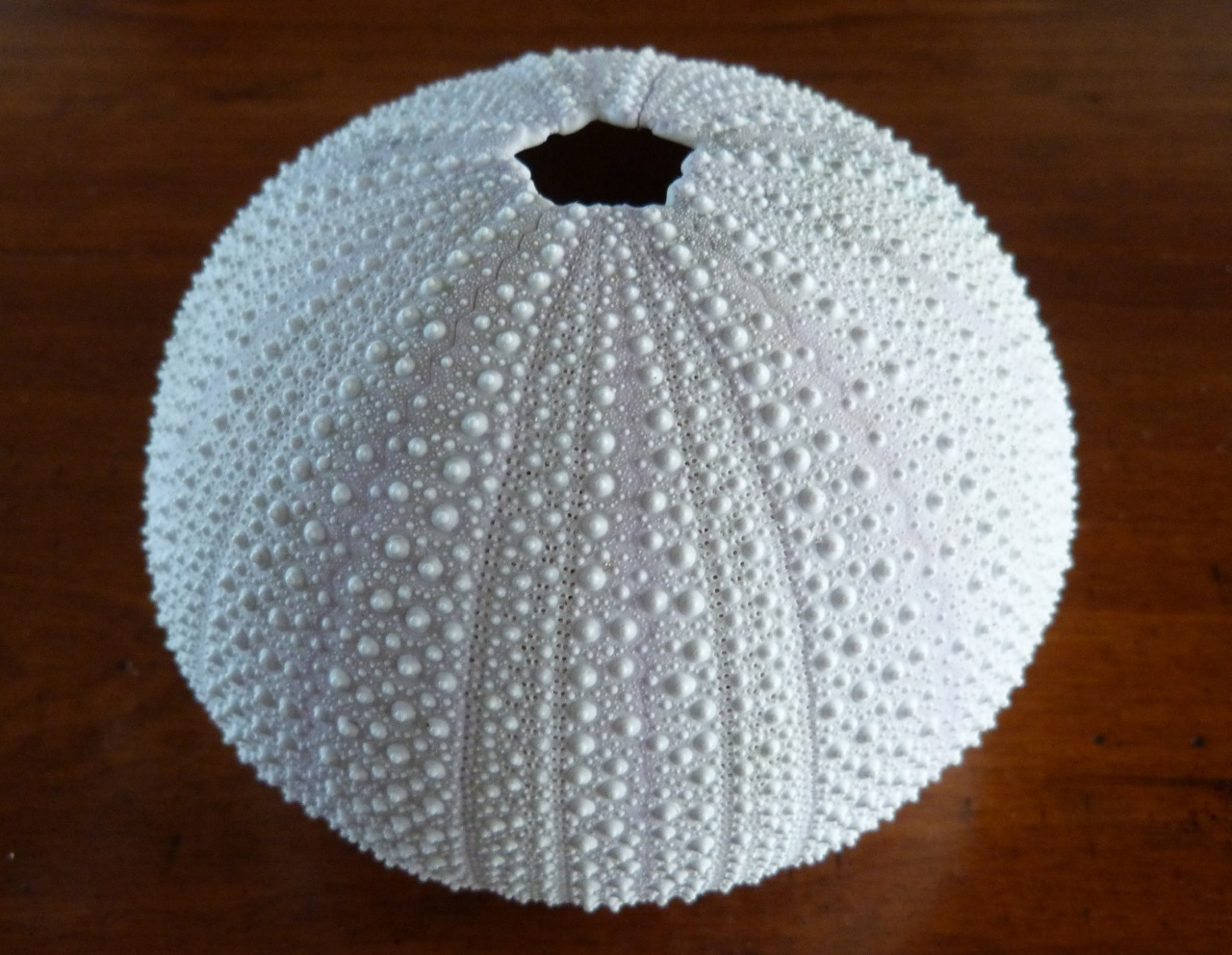White sea urchin shell - photo#4