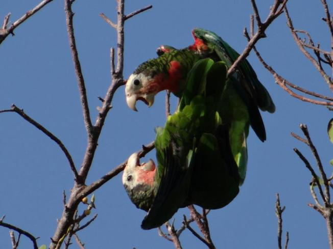 Abaco Parrots (Melissa Maura)