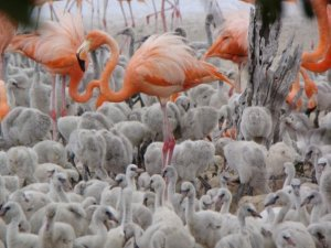 Inagua Flamingos MM 14