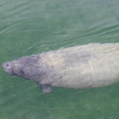 Georgie the Manatee, Hope Town, Abaco (© Stafford Patterson) 1