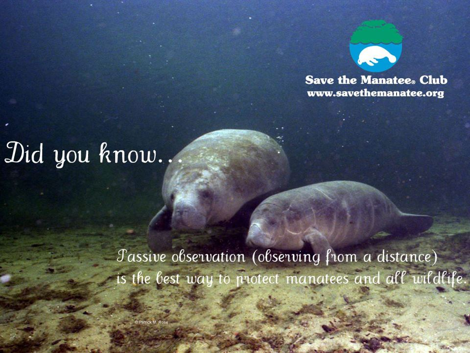 WEST INDIAN MANATEES | ROLLING HARBOUR ABACO