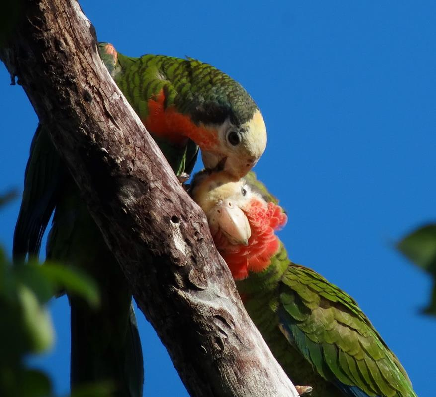 ABACO PARROTS MM 8