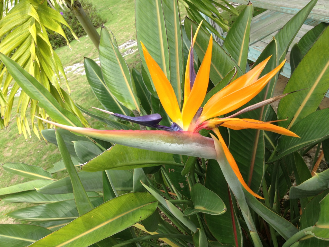 Bird of Paradise Flower (Strelitzia) Abaco (Keith Salvesen)