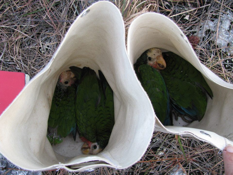 Abaco Parrot Chick Ringing 1